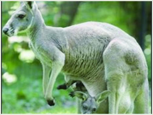Smakkar væl, nakað sum hjørtur. Søgan sigur tó onki um hvørt kengurur rigga sum skerpikjøt.